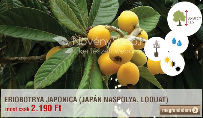 ERIOBOTRYA JAPONICA (JAPÁN NASPOLYA, LOQUAT)