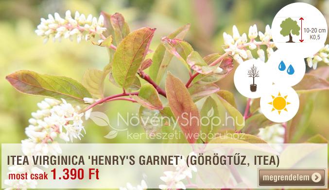 ITEA VIRGINICA 'HENRY'S GARNET'