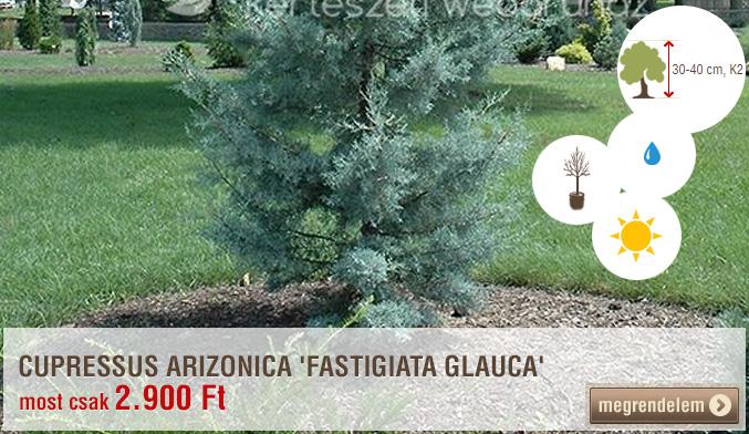 Cupressus arizonica 'Fastigiata Glauca'