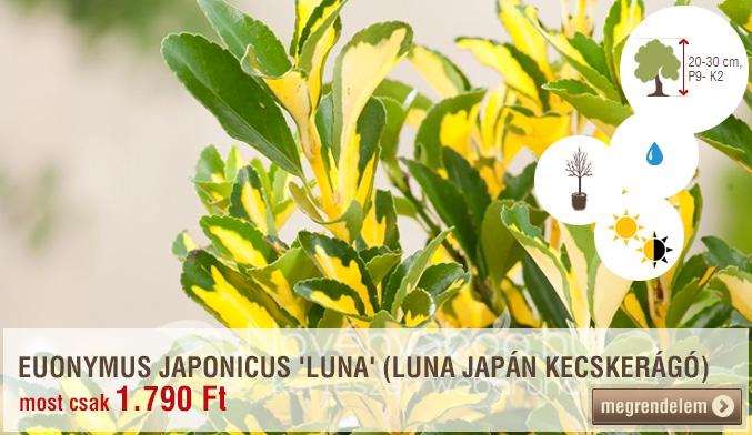 Euonymus japonicus 'Luna'