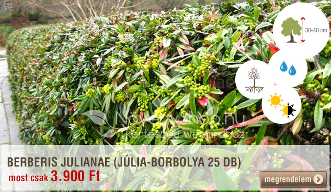BERBERIS JULIANAE (JÚLIA-BORBOLYA 25 DB)