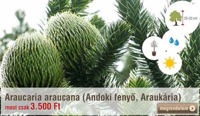 Araucaria araucana (Andoki fenyő, Araukária)