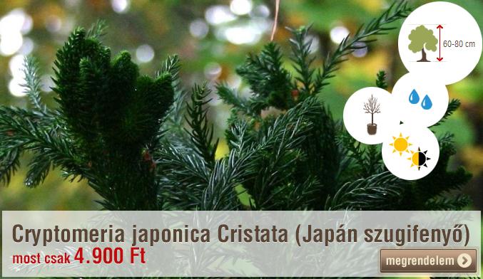 Cryptomeria japonica Cristata (Japán szugifenyő)