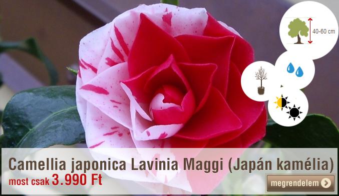 Camellia japonica Lavinia Maggi (Japán kamélia)