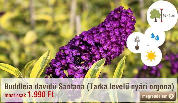 Buddleia davidii Santana (Tarka levelű nyári orgona)