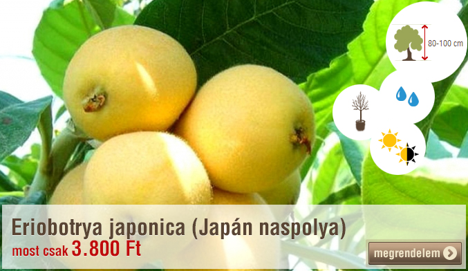 Eriobotrya japonica (Japán naspolya)