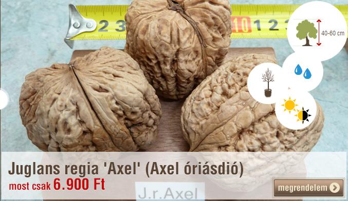 JUGLANS REGIA 'AXEL' (AXEL ÓRIÁSDIÓ)