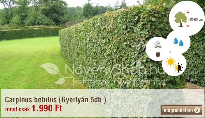 Carpinus betulus (Gyertyán 5db) Akciós ár: 1.990 Ft