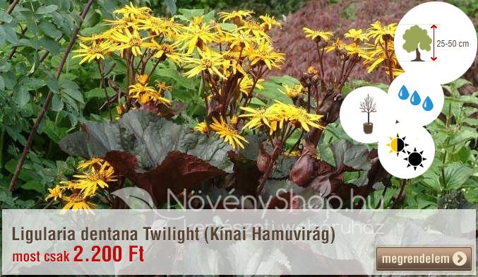 Ligularia dentana Twilight (Kínai Hamuvirág) Akciós ár: 2.200 Ft