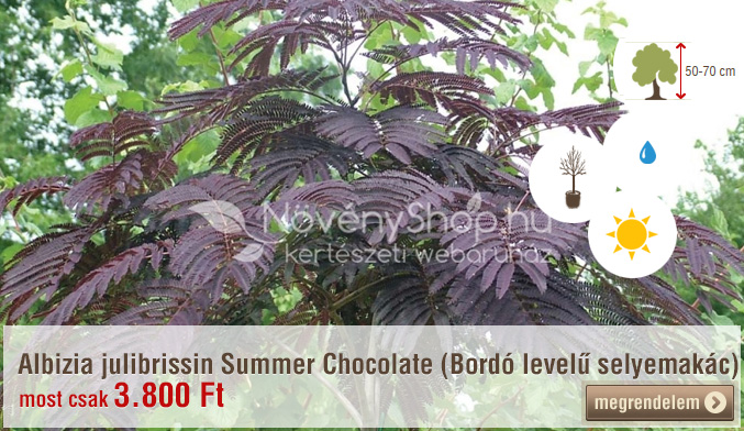 Albizia julibrissin Summer Chocolate (Bordó levelű selyemakác) Akciós ár: 3.800 Ft