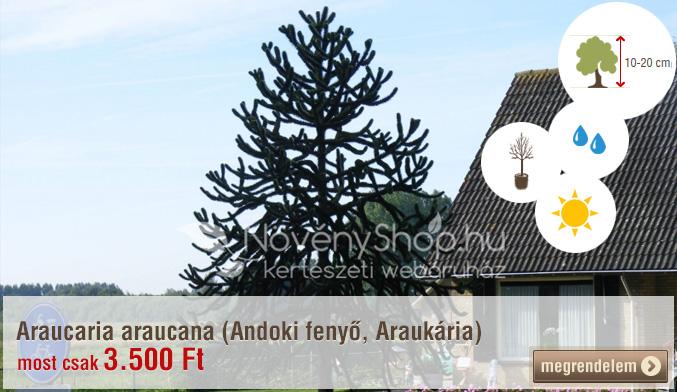 Araucaria araucana (Andoki fenyő, Araukária) akciós áron: 3.500 Ft