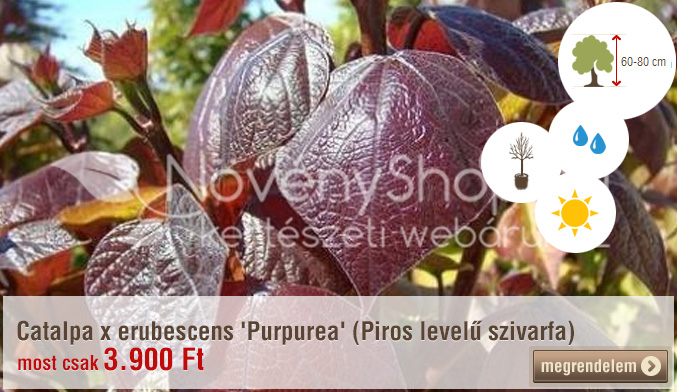 Catalpa x erubescens 'Purpurea' (Piros levelű szivarfa)