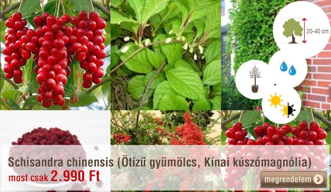 Schisandra chinensis (Ötízű gyümölcs, Kínai kúszómagnólia)