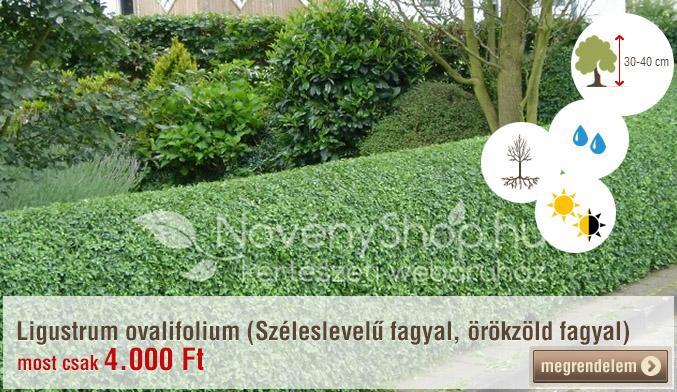 Ligustrum ovalifolium (Széleslevelű fagyal, örökzöld fagyal 25 db)
