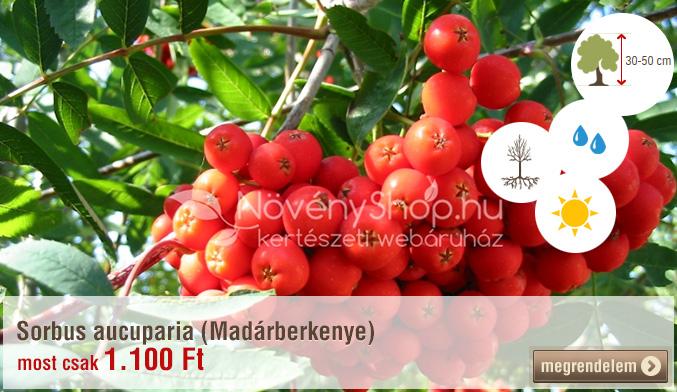 Sorbus aucuparia (Madárberkenye)