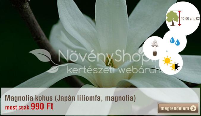 Magnolia kobus (Japán liliomfa, magnolia)