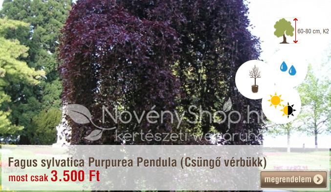 Fagus sylvatica Purpurea Pendula (Csüngő vérbükk)