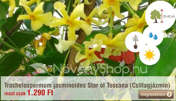 Trachelospermum jasminoides Star of Toscana (Csillagjázmin) Ár: 1.290 Ft