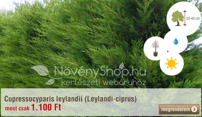 Cupressocyparis leylandii (Leylandi-ciprus) Ár: 1.100 Ft