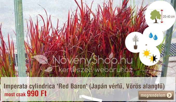 Imperata cylindrica 'Red Baron' (Japán vérfű, Vörös alangfű) Ár: 990 Ft