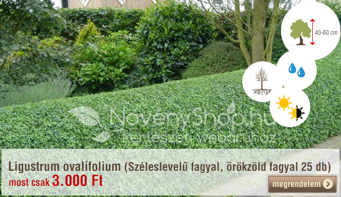 Ligustrum ovalifolium (Széleslevelű fagyal, örökzöld fagyal 10 db)