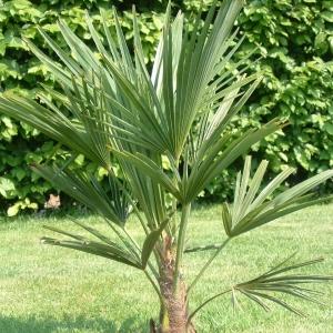 271_trachycarpus_fortunei_kinai_kenderpal.jpg
