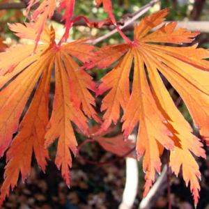 Acer_japonicum_Aconitifolium_Fall_Color_H.JPG