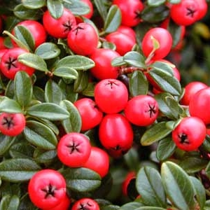 Cotoneaster-Coral-BeautyI.jpg