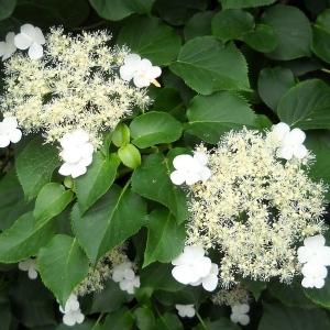 Hydrangea_anomalia_ssp_petiolaris_CLOSEUP.jpg