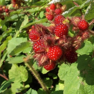 Japanese-Wineberry-02_800x.jpg