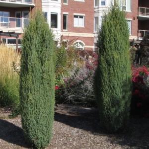 Juniperus-hibernicus.jpg