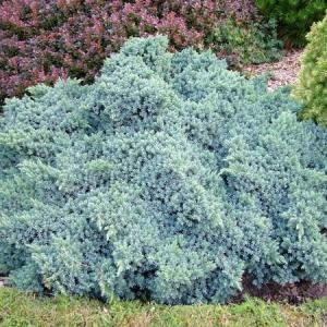 Juniperus-squamata-Blue-Star1.jpg
