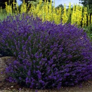 Lavandula_angustifolia_HidcoteSuperior.jpg