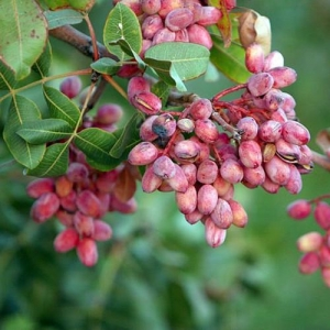Pistacia-Vera-Fruit-Red-Flowers-Seeds-Com.jpg