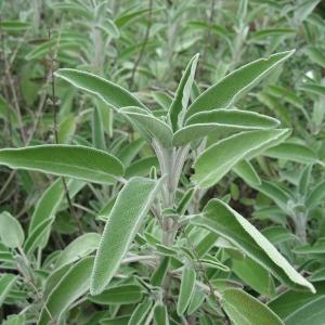 Salvia_officinalis.jpg