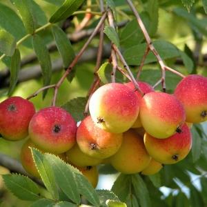 Speierling-Baum-Frucht-rot-gelb_Sorbus-do.jpg