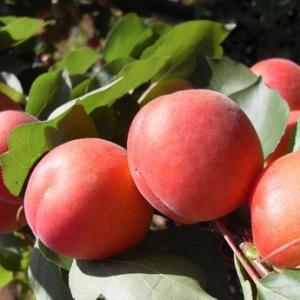 albicocche-pinkot.JPG