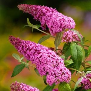 buddleia-davidii-pink-delight-shrub-9cm-p.jpg