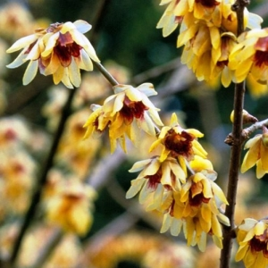 chimonanthus-500.jpg