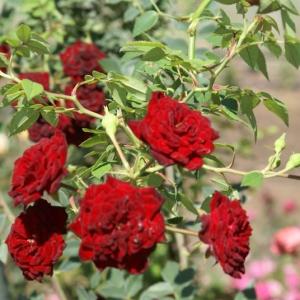 rosa_Red-Cascade-19.jpg