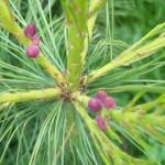 100_1314_Pinus_wallichiana_avec_fruits__6.jpg