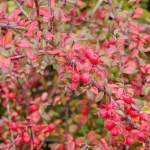 16910-cotoneaster-dammeri-coral-beauty-00.jpg