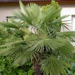 1938-trachycarpus-fortunei.jpg