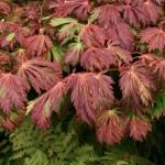 Acer_palmatum_Aconitifolium_I28784P95591.jpg