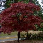Acer_palmatum__Atropurpurea_2.jpg