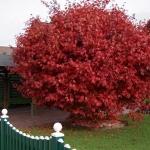 Acer_palmatum_autumnal_tree_photo_file_PD.jpg