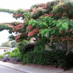 Albizia-Mimosa-Tree-or-Silk-Tree-Julibris.jpg