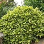 Aucuba-japonica-Crotonifolia-1.jpg
