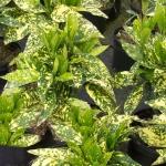 AucubaCrotonifolia.jpg