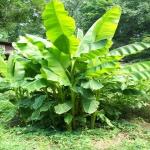 Basjoo-Banana-Trees-Hardy-1.jpg
